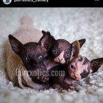 Sphynx kitten breeder