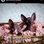 sphynx cat breeder USA