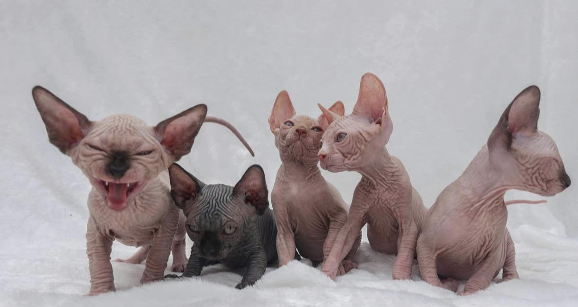 kitten and cat Sphynx-breeder-san-diego