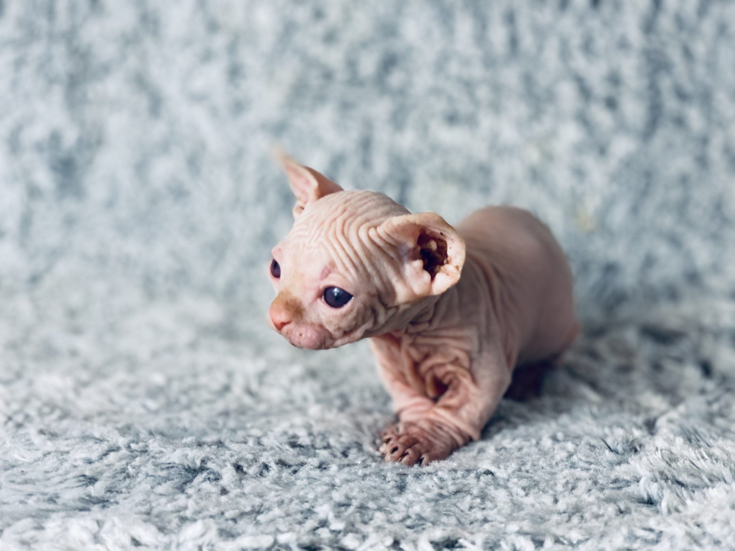 Red Bambino Sphynx Cattery
